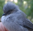 Common Bushtit