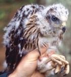 European Goshawk chick