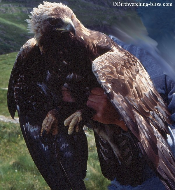 golden eagle pictures. Golden Eagle Pictures