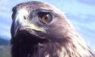 adult female golden eagle
