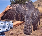 Northern Goshawk adult molting