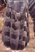 Northern Goshawk molting tail