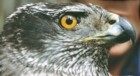 Northen Goshawk