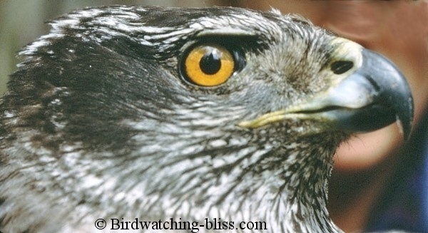 http://www.birdwatching-bliss.com/images/Northern_Goshawk_adult_head_large.jpg