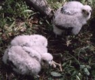Northen Goshawk chicks