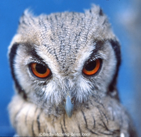 Owl Pictures, Screech, Long-earred, Eagle Owl and More