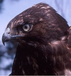 Melanistic Red-tailed hawk.jpg