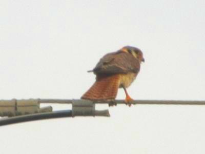 Adult Male Amercian Kestrel (<i>Falco sparverius</i>)