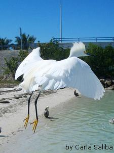 Bird Flight of Snowy Egret