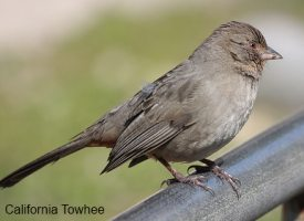 California Towhee Bird ID