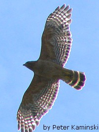 Raptor Migration (Red-shouldered Hawk)