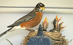 Robin and Phoebe bird house plans