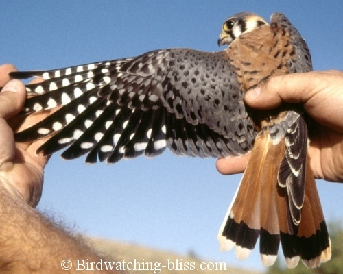 adult male American Kestrel closeup