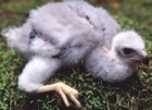 European Goshawk chick