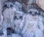 Prairie Falcon chicks