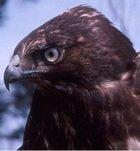 Melanistic Red-tailed hawk.jpg