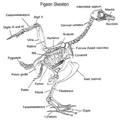 Aves Skeleton Diagram - Wiring Diagram Features