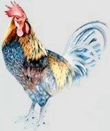 Blue Hen Chicken