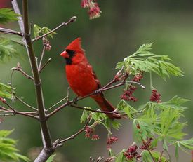 Illinois State Bird And Flower And Tree